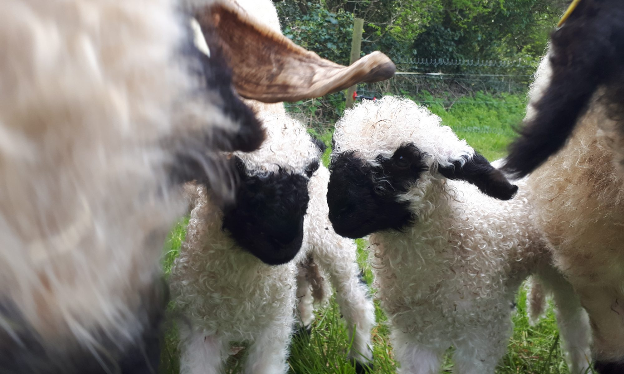 HAMLEDGE PEDIGREE SHEEP